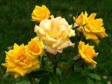 Tratamente cu trandafiri