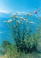 Regina plantelor medicinale din Romania: Coada-soricelului