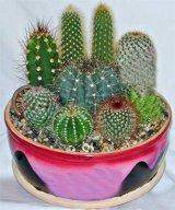 Cand infloresc cactusii