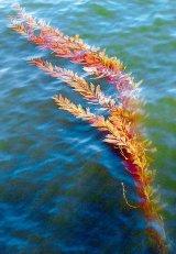 Algele marine - elixir de sanatate