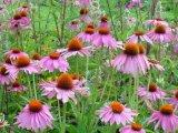 Plantele in ajutorul imunitatii
