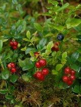 Miraculoasele afine rosii (merisoare)