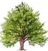 Tisa - arborele vietii si al mortii