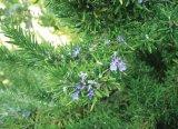 Planta indragostitilor - Rozmarinul