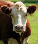 Excesul de carne ameninta grav planeta