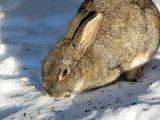 Poveste de iarna cu iepuri
