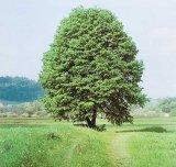 TEIUL - arborele care vindeca sufletul