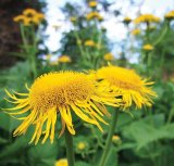 Plante pentru femei - IARBA MARE