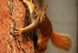 Cozonac cu veverita