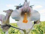 Planta cu nume nemeritat: GHEARA-DIAVOLULUI