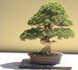 Intalnire cu un bonsai