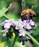 Mierea, roua florilor
