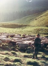 Mirele cu doua sute de oi