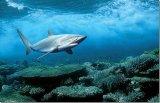 """Un """"leac"""" din fundul oceanelor - Cartilajul de rechin"""
