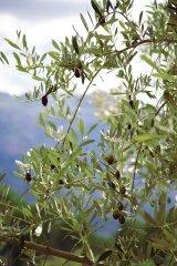 Frunzele de MASLIN