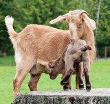 Laptele de capra - elixirul alb