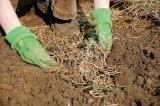 Plantele iernii: PIRUL TARATOR